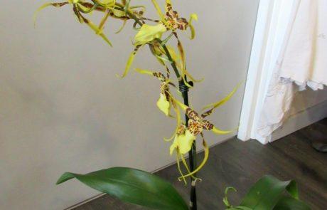 orchidéee Brassia d'fleurs artisan fleuriste Fontenay le Comte