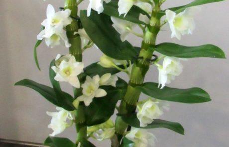 dendrobium d'fleurs fleuriste fonetenay le comte