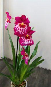 orchidée Miltonia D'fleurs artisan fleuriste Fontneay le Comte