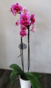 Phalaenopsis D'Fleurs, fleuriste à Fontenay-le-Comte en Vendée